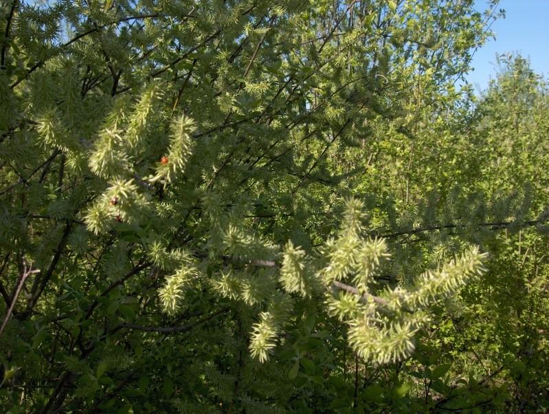 floraisons des arbres et des arbustes - Page 2 Hpim2312