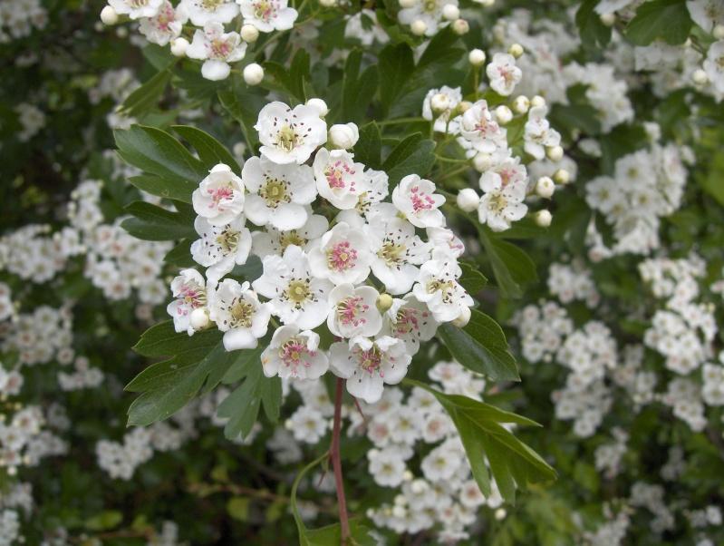 floraisons des arbres et des arbustes - Page 2 Hpim2415