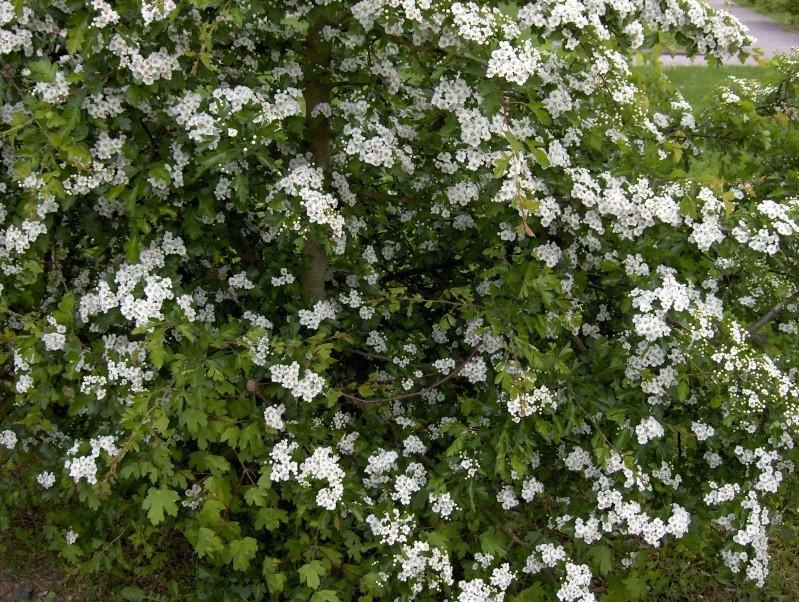 floraisons des arbres et des arbustes - Page 2 Hpim2416