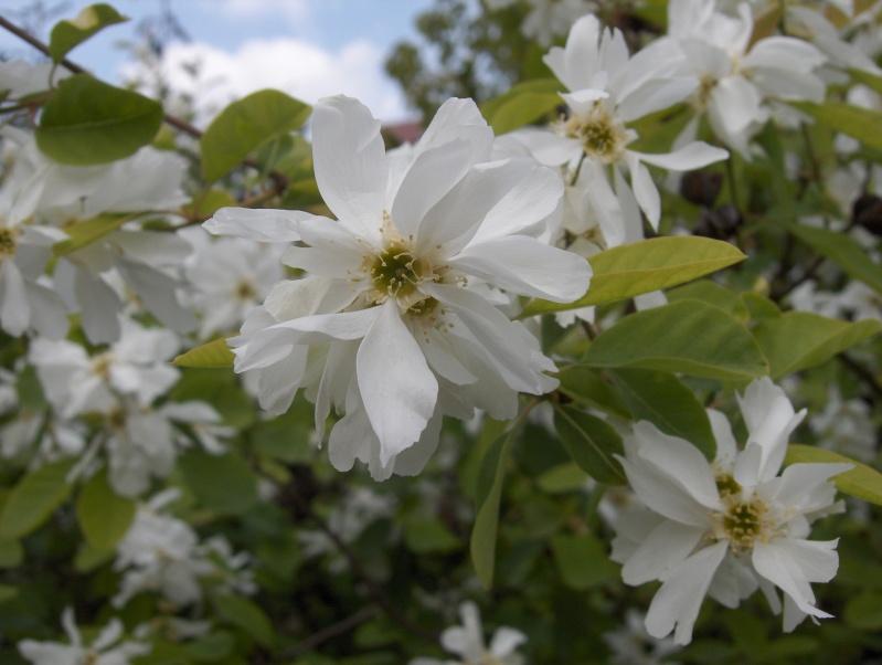 floraisons des arbres et des arbustes - Page 2 Hpim2418
