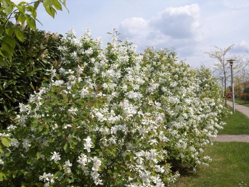 floraisons des arbres et des arbustes - Page 2 Hpim2422