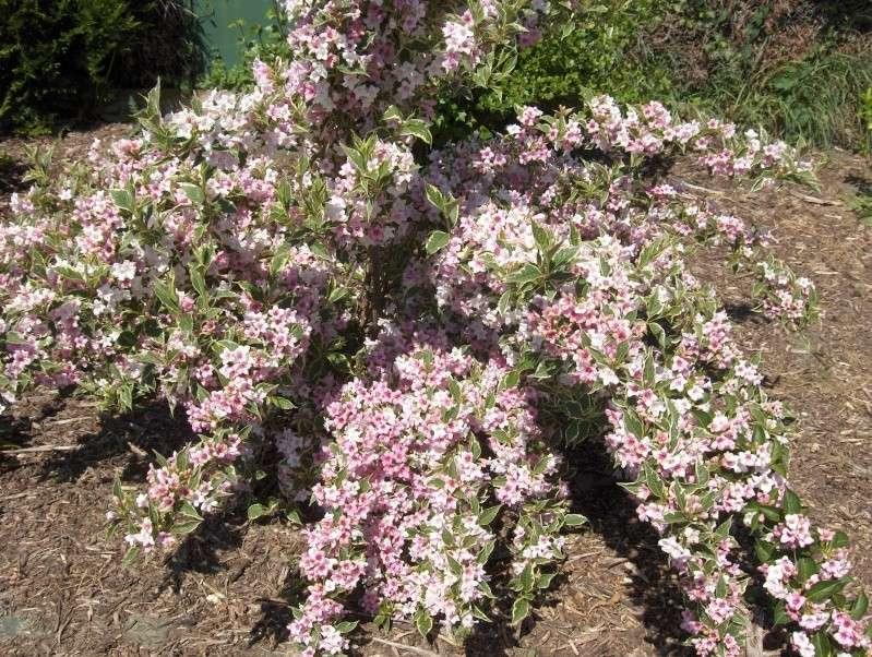 floraisons des arbres et des arbustes - Page 3 Hpim2735