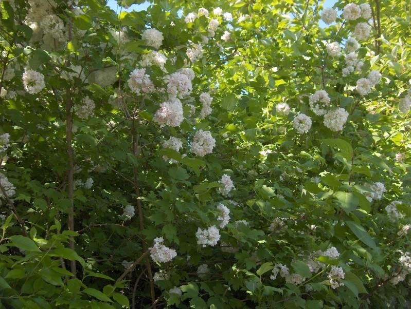 floraisons des arbres et des arbustes - Page 3 Hpim2737