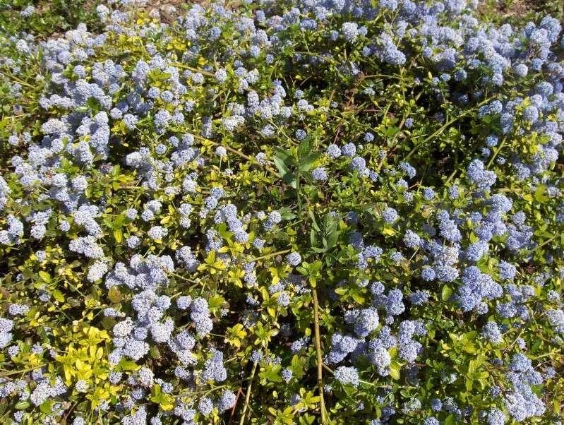 floraisons des arbres et des arbustes - Page 3 Hpim2738