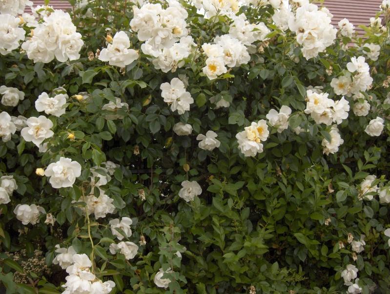 le royaume des rosiers...Vive la Rose ! Hpim2917
