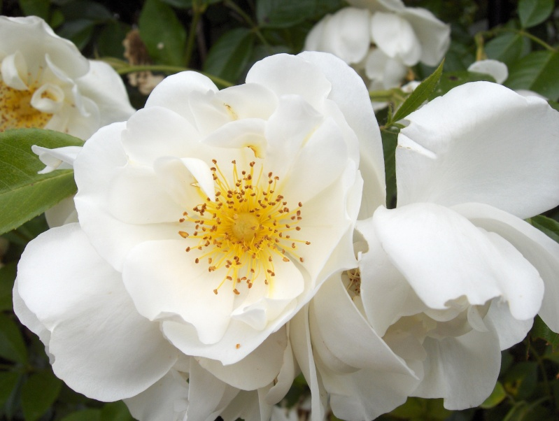 le royaume des rosiers...Vive la Rose ! Hpim2918