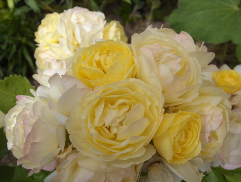 le royaume des rosiers...Vive la Rose ! Hpim2919