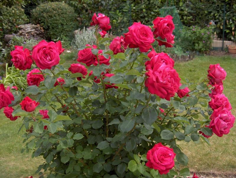le royaume des rosiers...Vive la Rose ! - Page 2 Hpim2939