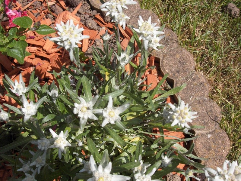 la culture de l'édelweiss /Leontopodium Alpinum Hpim2951