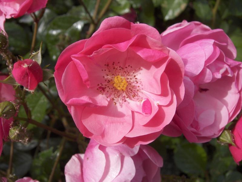 le royaume des rosiers...Vive la Rose ! - Page 2 Hpim2952