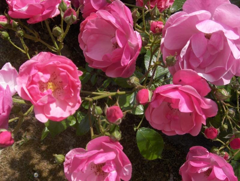 le royaume des rosiers...Vive la Rose ! - Page 2 Hpim2953