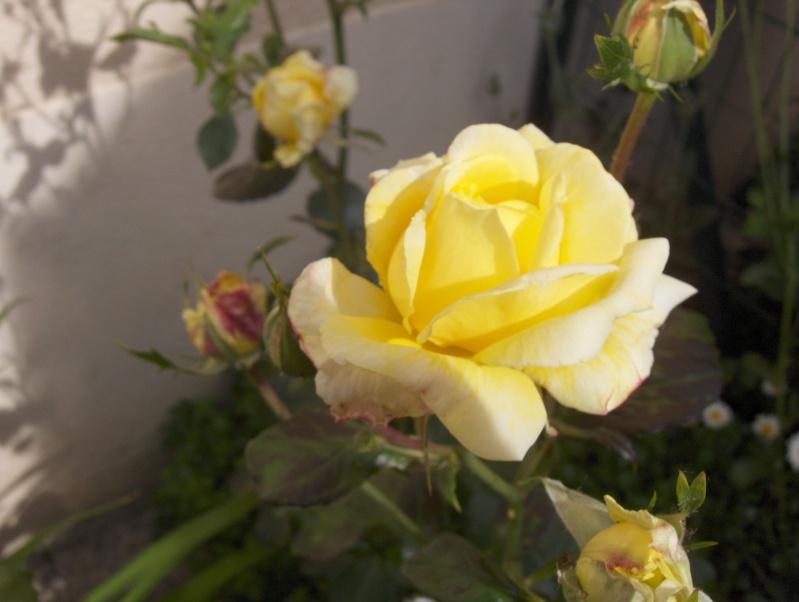 le royaume des rosiers...Vive la Rose ! - Page 2 Hpim3016