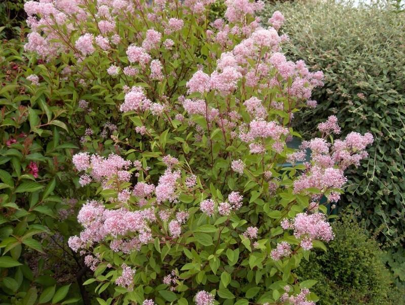 floraisons des arbres et des arbustes - Page 4 Hpim3030