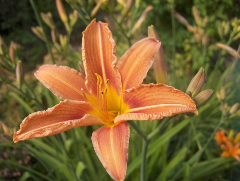 Floraisons du mois de juin Hpim3045