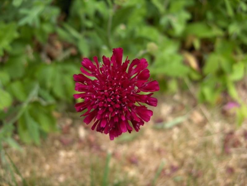 Floraisons du mois de juin Hpim3049