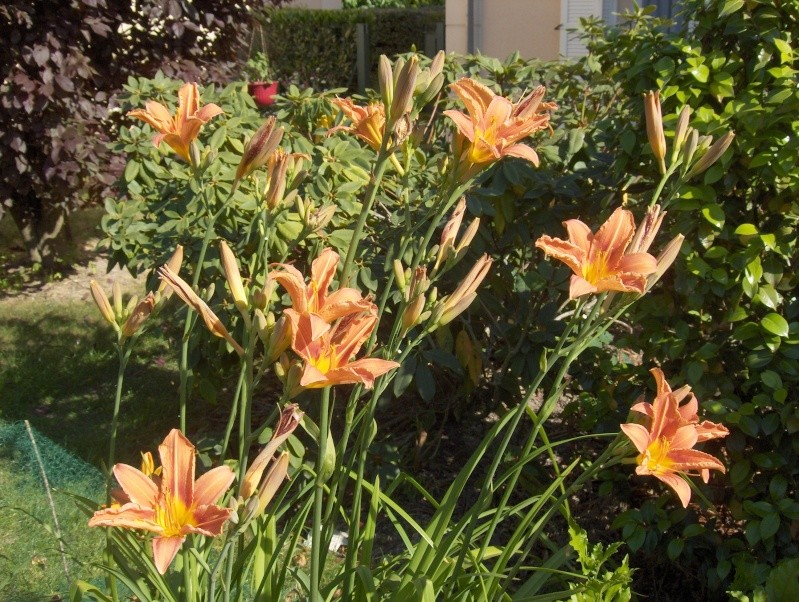 Floraisons du mois de juin Hpim3115