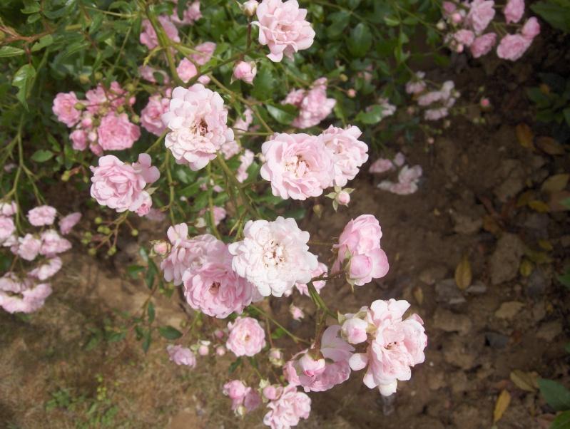 le royaume des rosiers...Vive la Rose ! - Page 2 Hpim3217