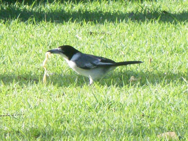 Les oiseaux des jardins australiens La_pie10