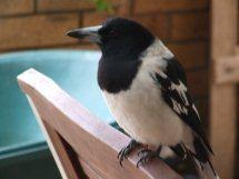 Les oiseaux des jardins australiens La_pie11
