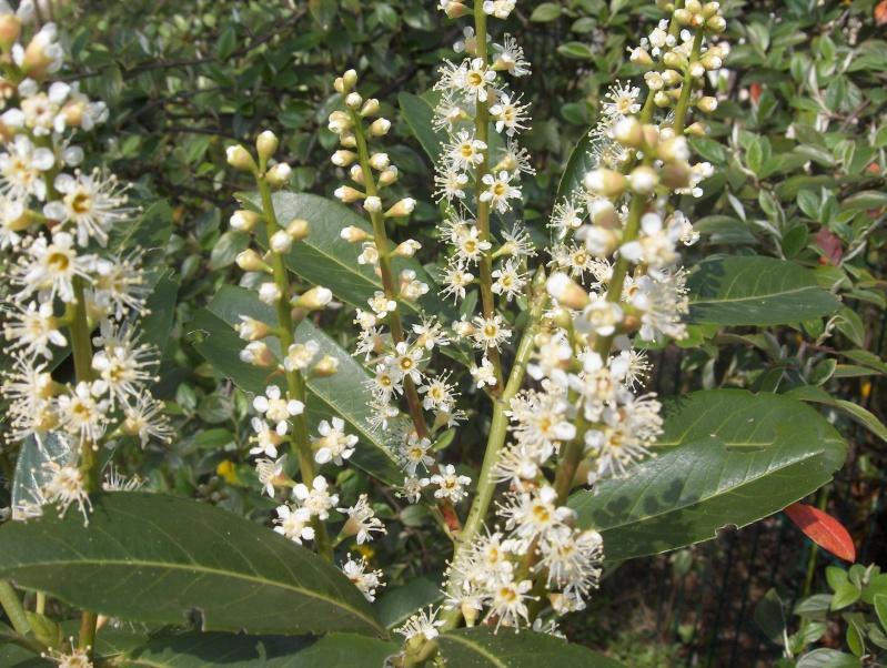 floraisons des arbres et des arbustes - Page 2 Laurie10