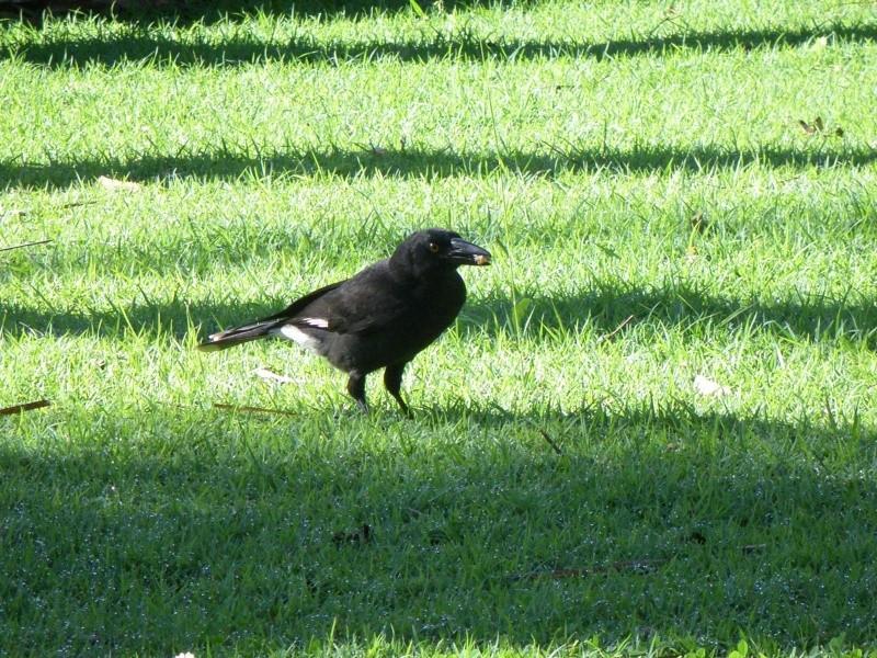 Les oiseaux des jardins australiens Le_cur10