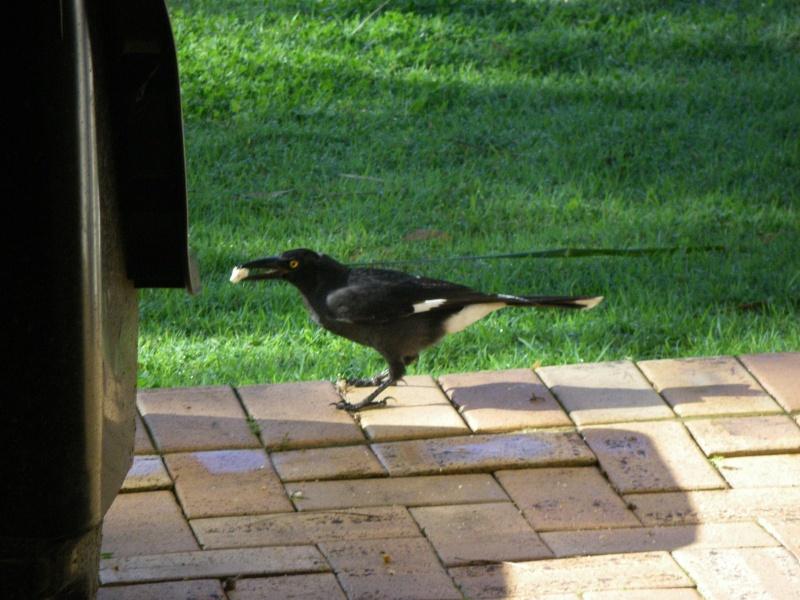Les oiseaux des jardins australiens Le_cur11