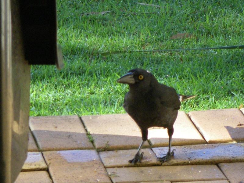 Les oiseaux des jardins australiens Le_cur12