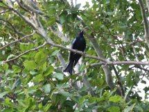Les oiseaux des jardins australiens Le_dro10