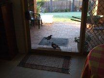 Les oiseaux des jardins australiens Le_len10