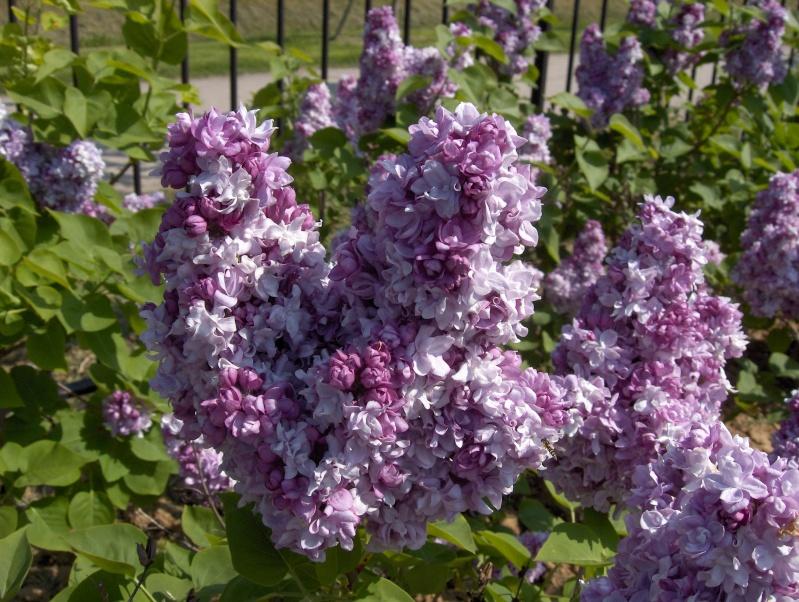 Floraisons du mois d'avril - Page 2 Lila_t10