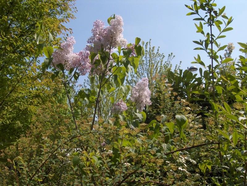 Floraisons du mois d'avril - Page 2 Lilas_10