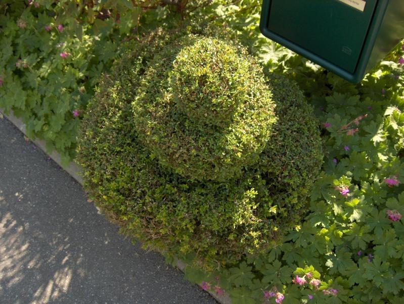 L'art topiaire  « art du paysage » Lonica10