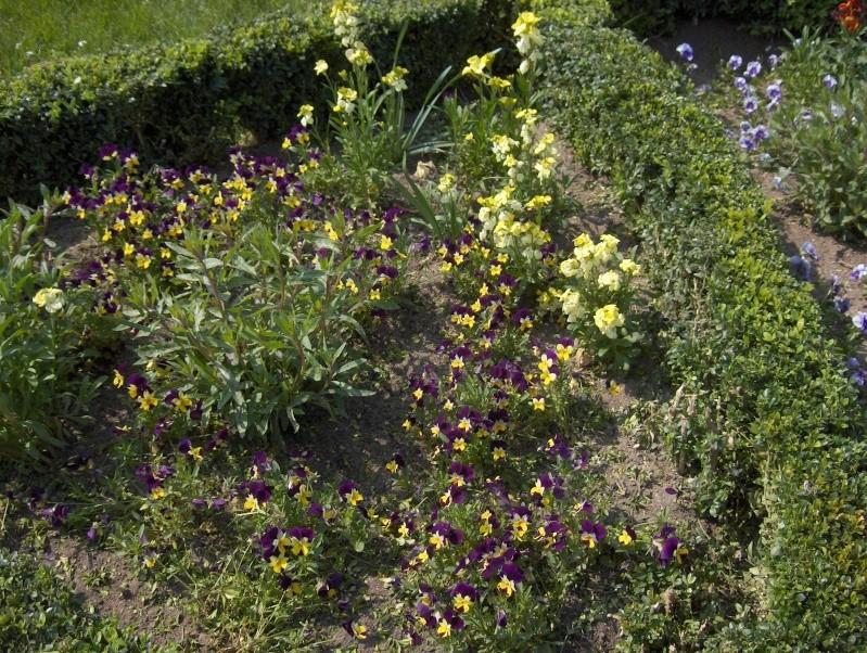 Floraisons du mois d'avril - Page 2 Pensae13