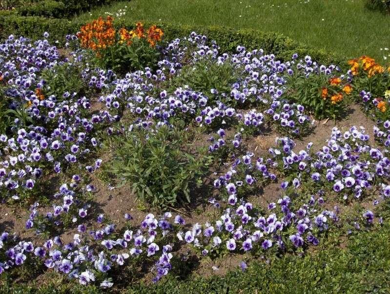 Floraisons du mois d'avril - Page 2 Pensae14