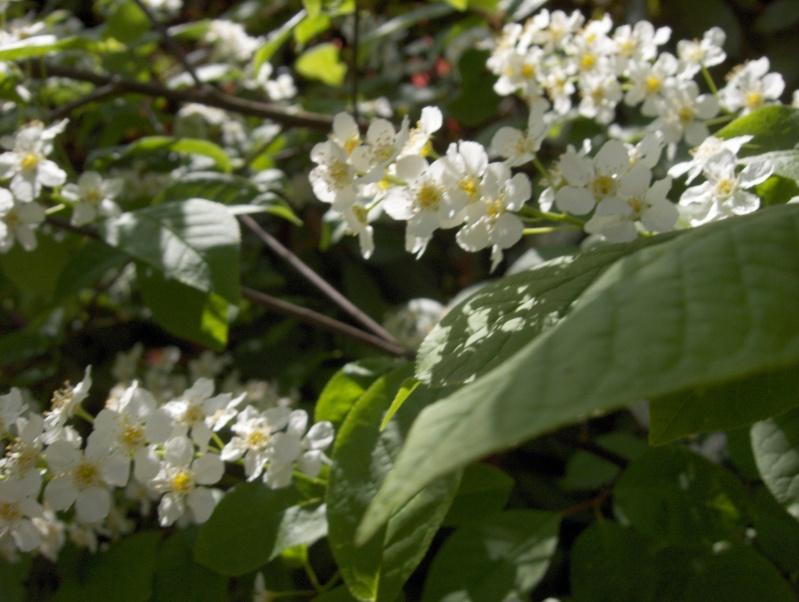 floraisons des arbres et des arbustes - Page 2 Petit_14