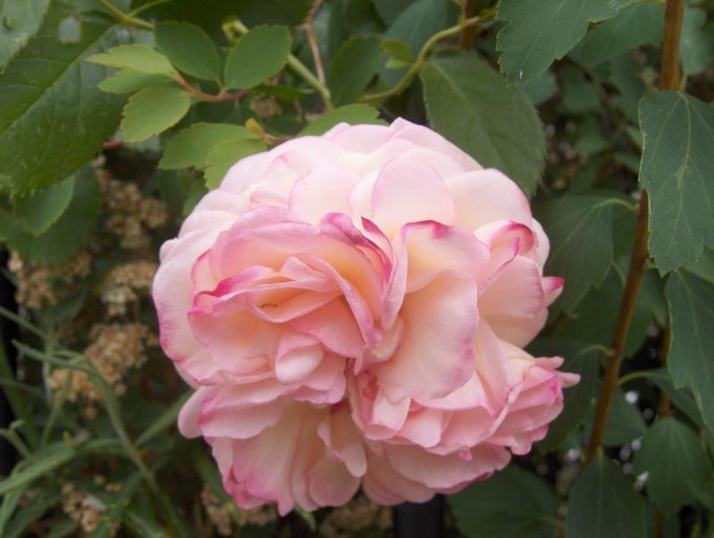 le royaume des rosiers...Vive la Rose ! - Page 2 Rose_f10