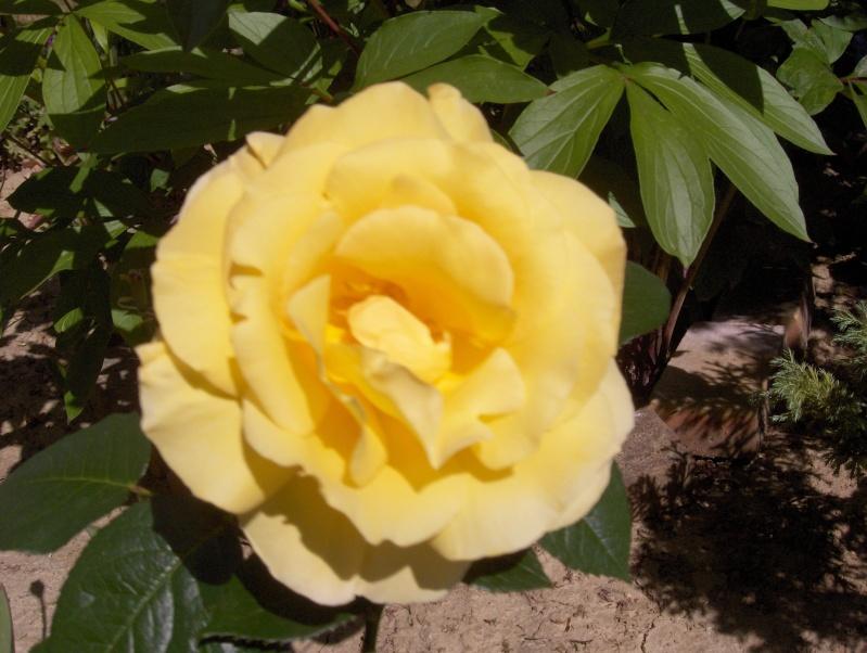 le royaume des rosiers...Vive la Rose ! - Page 2 Rose_j10