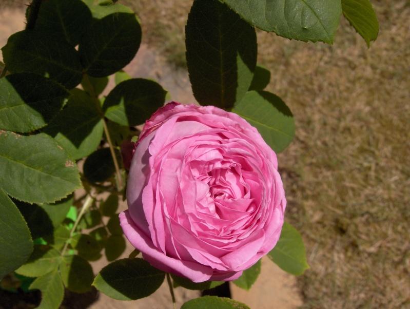 le royaume des rosiers...Vive la Rose ! - Page 2 Rose_p10
