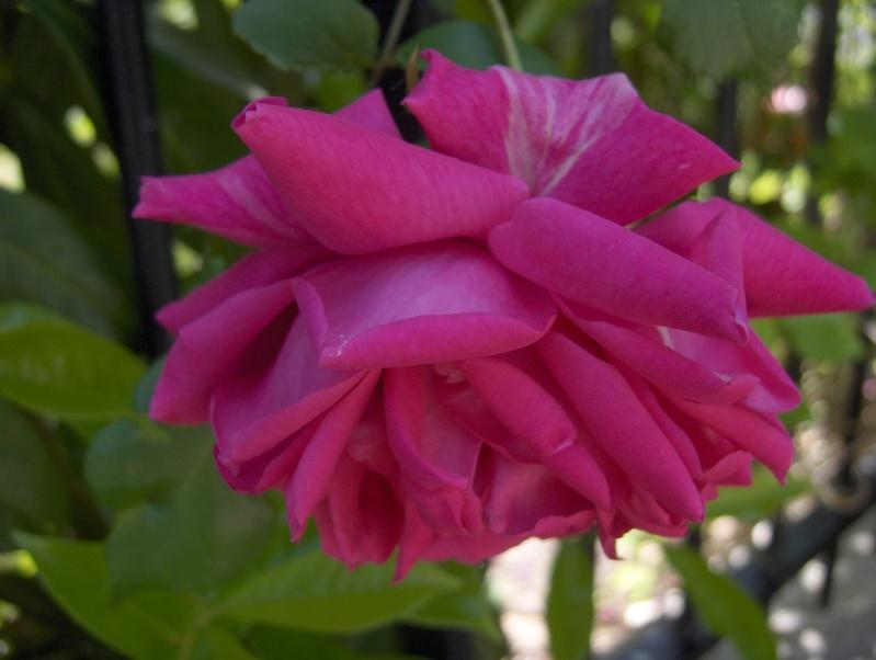 le royaume des rosiers...Vive la Rose ! - Page 2 Rose_t10