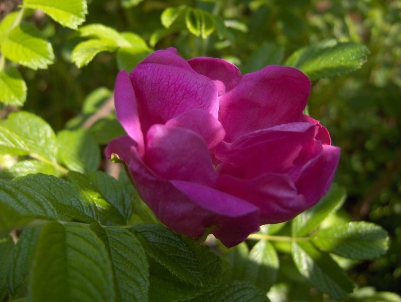 Floraisons du mois d'avril - Page 2 Rosier11