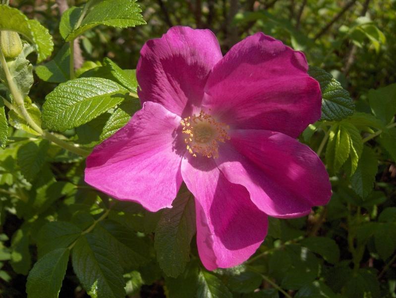 Floraisons du mois d'avril - Page 2 Rosier12