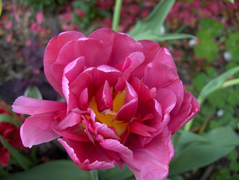 Floraisons du mois d'avril - Page 2 Tulipe10