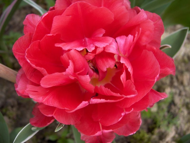 Floraisons du mois d'avril - Page 2 Tulipe11