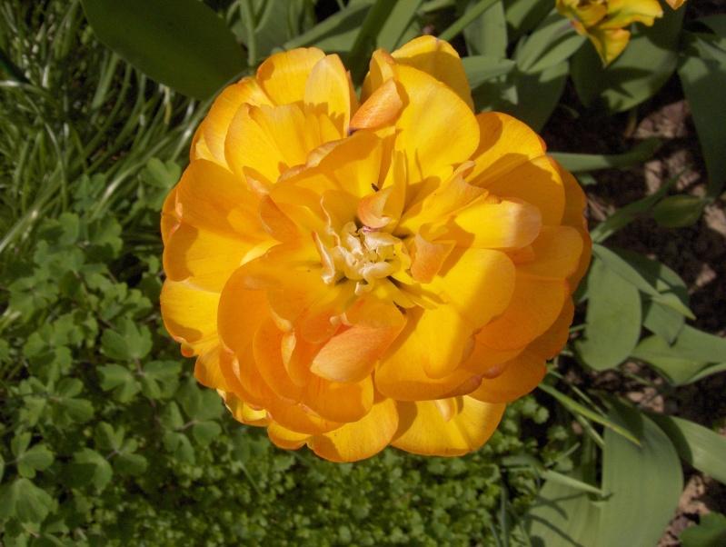Floraisons du mois d'avril - Page 2 Tulipe12