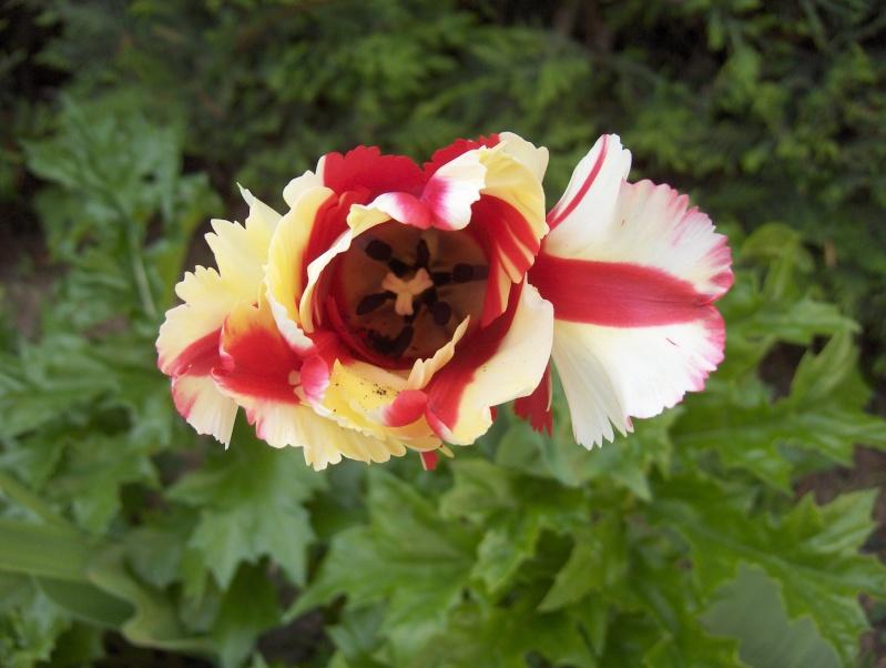 Floraisons du mois d'avril - Page 2 Tulipe13