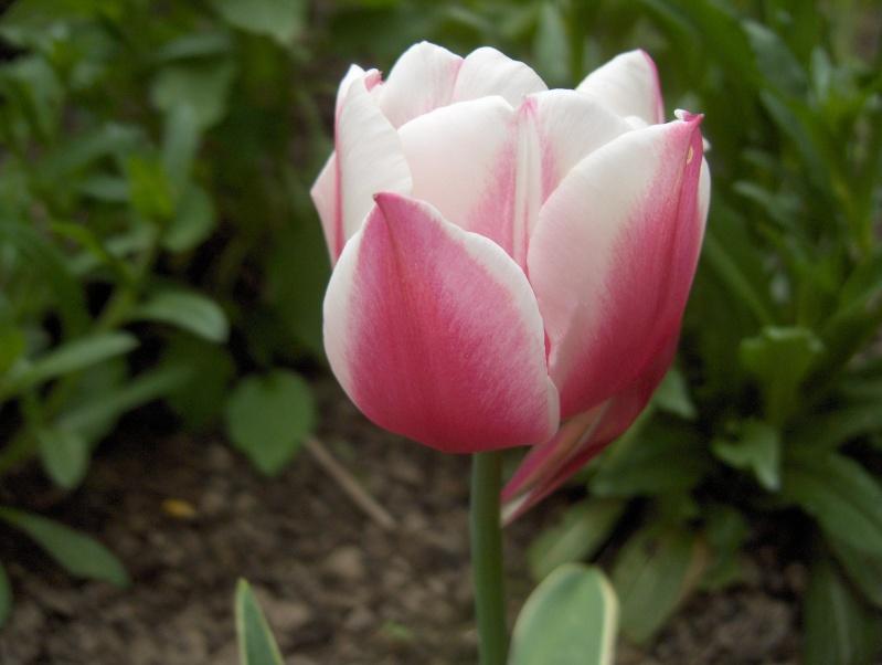 Floraisons du mois d'avril - Page 2 Tulipe14