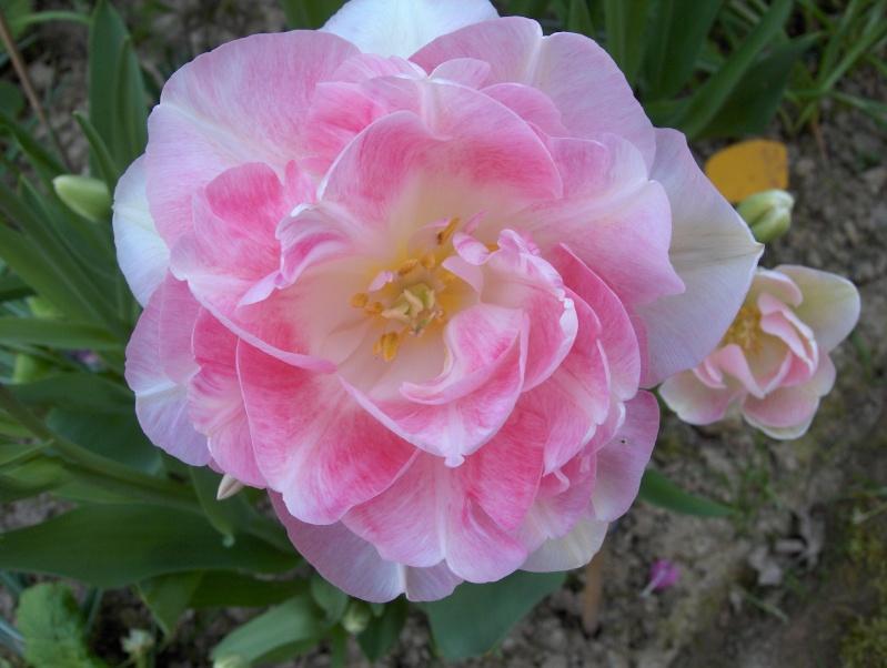 Floraisons du mois d'avril - Page 2 Tulipe15