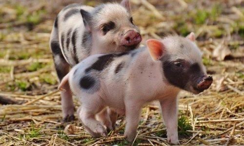 les eleveurs de porcs sont-ils sans coeur ? Petiti10