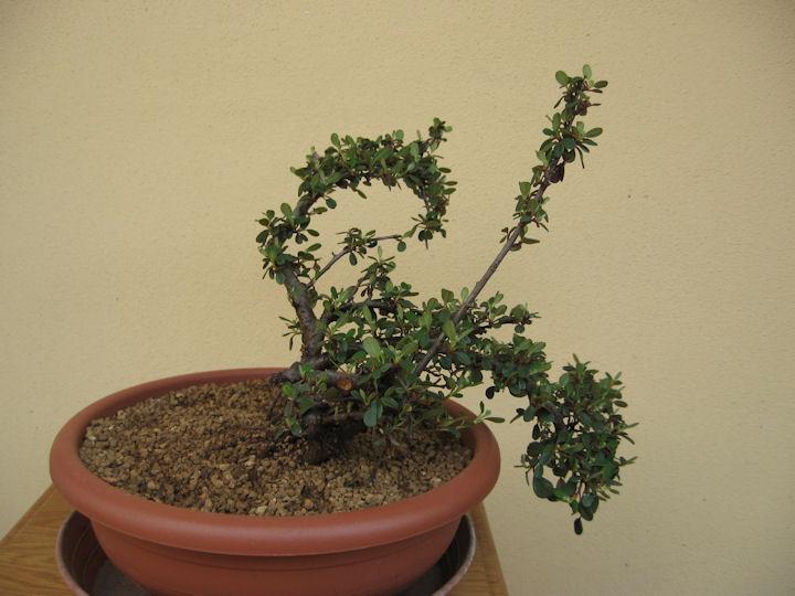 Cotoneaster salicifolia da impostare Img_3510