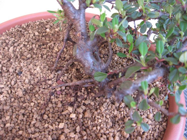 Cotoneaster salicifolia da impostare Img_3511